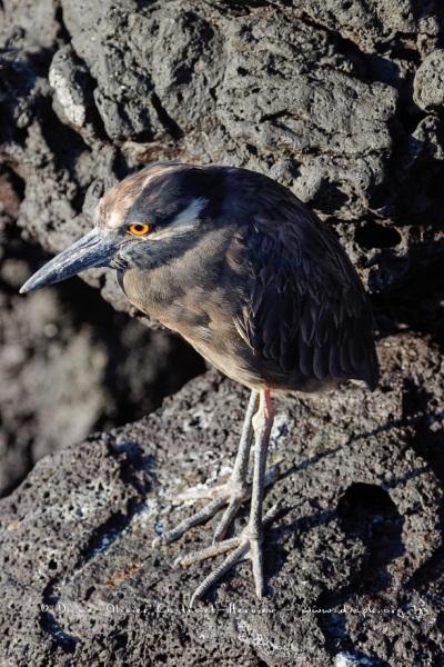 Bihoreau violacé des Galapagos (Nycticorax violaceus pauper) - île de Santiago - Galapagos