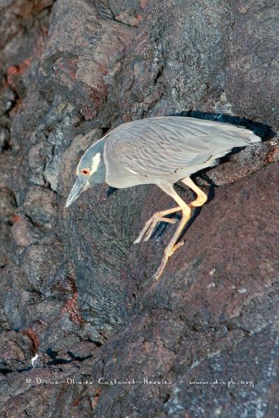 Bihoreau violacé des Galapagos (Nycticorax violaceus pauper)- île de Genovesa