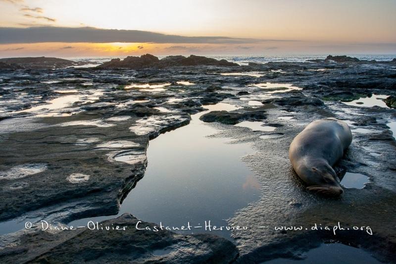 Paysage de l'Estran, ïle santiago et Otarie - ïles Galapagos