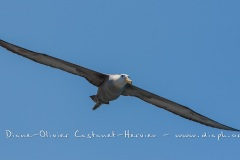 Albatros des Galapagos (Phoebastria irrorata) - ïle de Española - Galapagos
