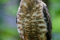 Bondrée apivore (Pernis apivorus)