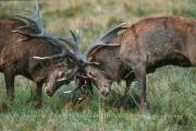 combat Cerfs Elaphess au brame