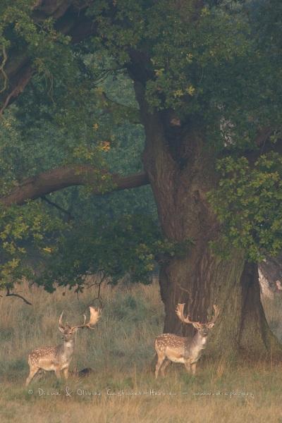 Daim (Dama dama) sous un chêne centenaire du Parc de Dyrehaven