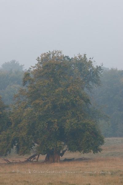 Chêne Centenaire du parc de Dyrehaven.