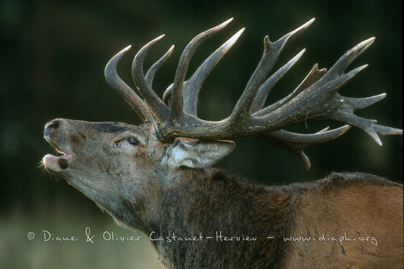 Cerf Elaphe au brame