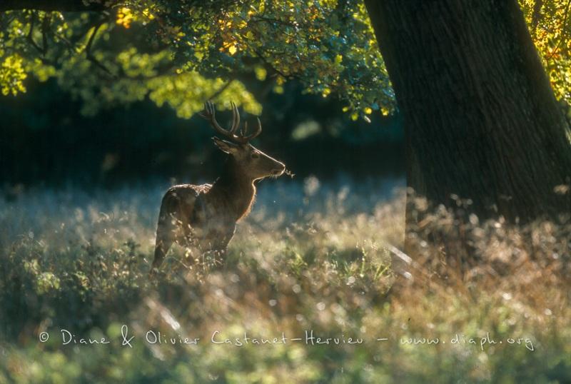 Jeune cerf en sous bois