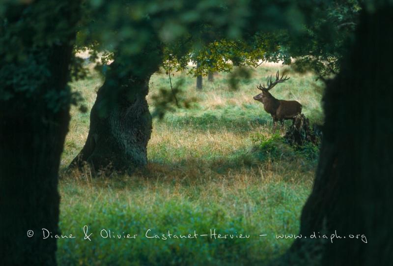 Cerf en sous bois