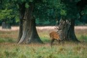 Un cerf, deux chênes