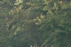 Cerf élaphe (Cervus elaphus) saison du brame