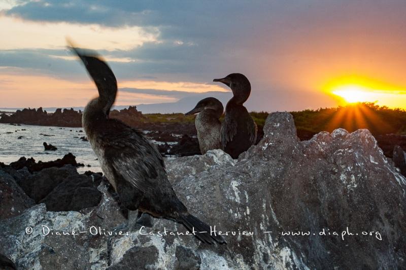 Cormoran aptère (Phalacrocorax harrisi) - îles Galapagos