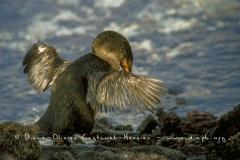 Cormoran aptère (Phalacrocorax harrisi)