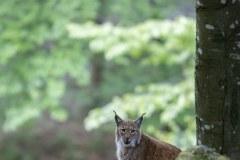 Lynx boréal (Lynx lynx)