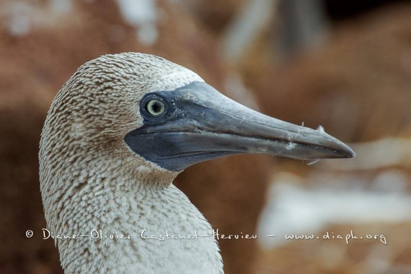 Fou à  pieds bleus des Galapagos (Sula nebouxii excisa)