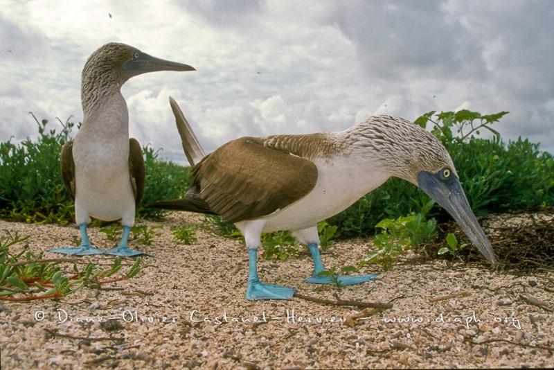 Fou à  pieds bleus (Sula nebouxii)