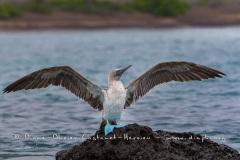 Fou à  pieds bleus (Sula nebouxii) - îles Galapagos