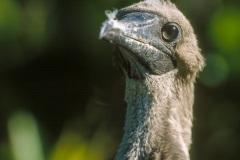 Fou à  pieds rouges du Pacifique Est (Sula sula websteri) - île de Génovesa - Galapagos