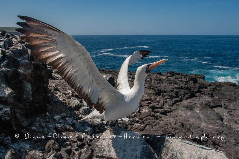 Fou masqué (Sula dactylatra) - îles Galapagos