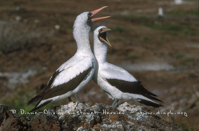 Fou masqué (Sula dactylatra) - île de Génovesa - Galapagos