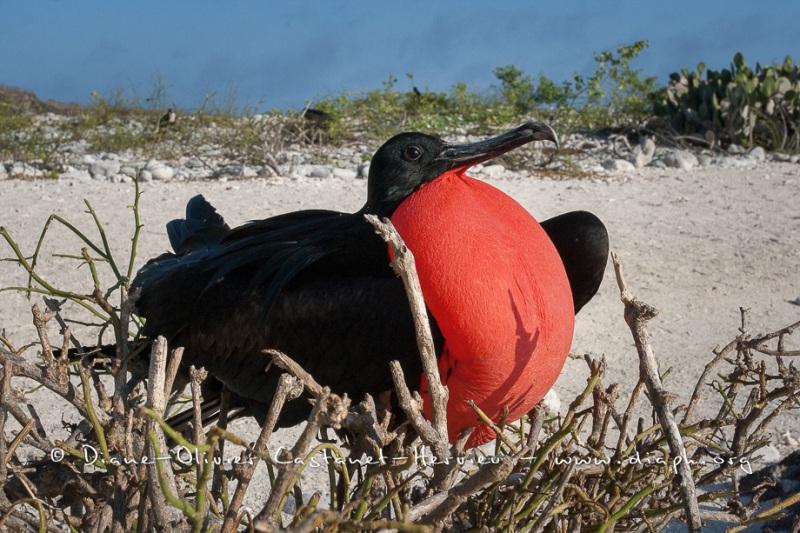 Frégate du Pacifique (Fregata minor) - îles Galapagos