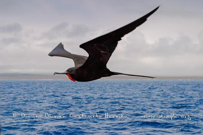 Frégate du Pacifique (Fregata minor)