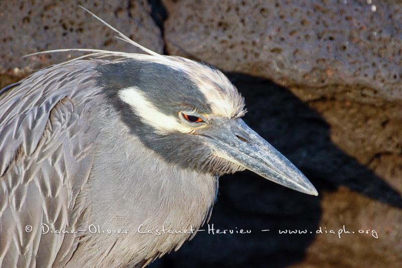 Bihoreau violacé des Galapagos (Nycticorax violaceus pauper) - Puerto Egas - île de Santiago
