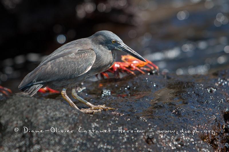 Héron des laves (Burorides sundevalli) - îles Galapagos