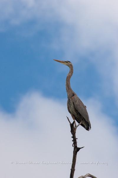 Grand héron bleu, (ardea, herodias) - îles Galapagos