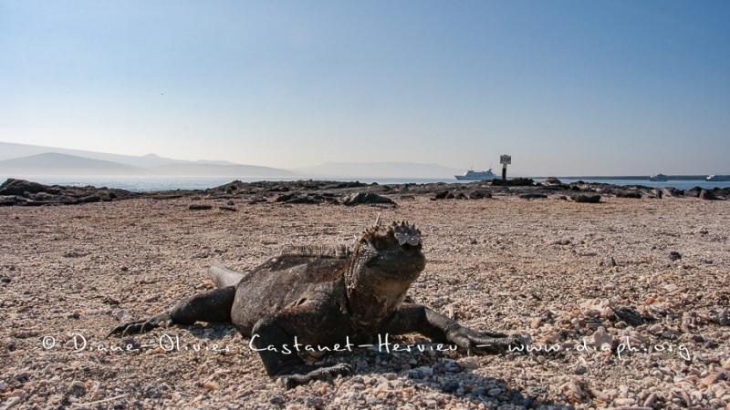 Iguanes marins (Amblyrhynchus cristatus) - île de Fernandina - Galapagos
