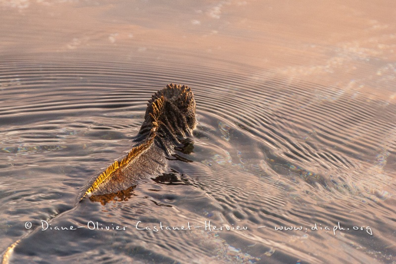 Iguanes marins (Amblyrhynchus cristatus) - île de Santiago-Galapagos