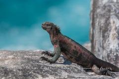 Iguanes marins (Amblyrhynchus cristatus) - île de Española -Galapagos