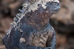 Iguanes marins (Amblyrhynchus cristatus) - île de Isabela  - Galapagos