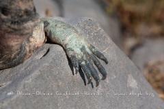 Iguanes marins (Amblyrhynchus cristatus) - île de Española - Galapagos