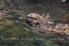 Iguanes marins (Amblyrhynchus cristatus) - île de Isabela-Galapagos