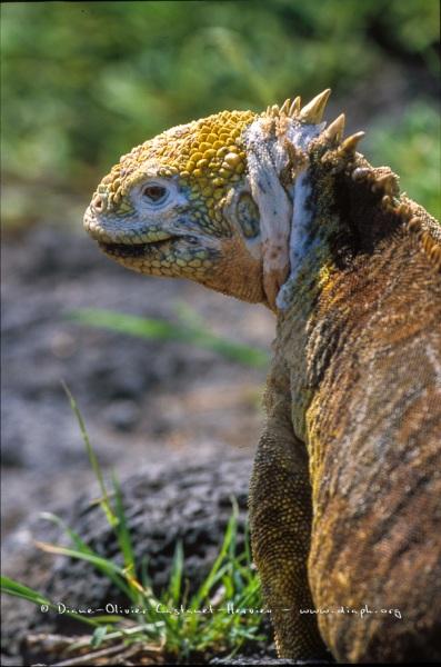 Iguane terrestre des Galapagos (Conolophus subcristatus)