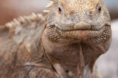 Iguane terrestre des Galapagos (Conolophus subcristatus) - île de Santa fé