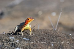 Lézard des laves, ^les Galapagos