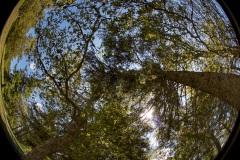 La tête en l'air, paysage forestier