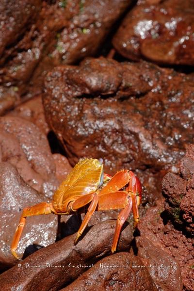 Crabe des Galapagos (Grapsus grapsus)