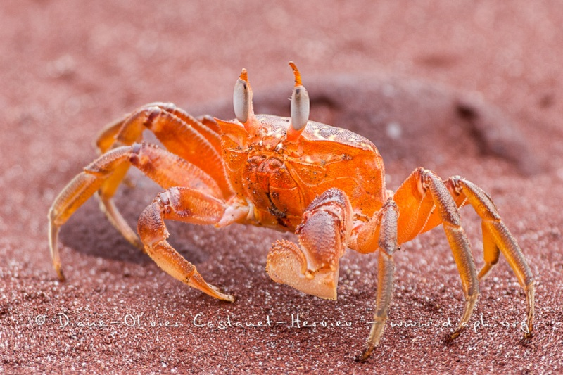 crabe fantôme Galapagos, (Ocypode gaudichaudii)