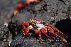 Crabes_001_Crabe-des-Galapagos-Grapsus-grapsus_XMG_2441