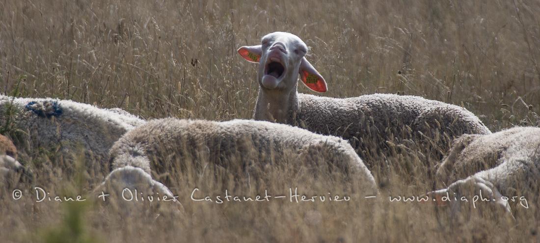 Mouton contestataire
