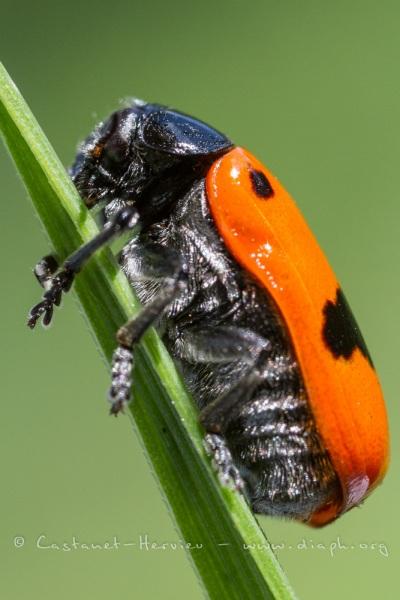 Clytre lustrée des saules (Clytra laeviuscula)