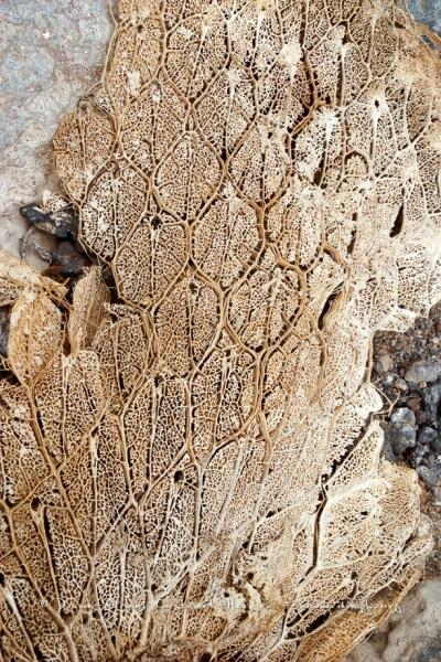 Raquettes déscéchées de Cactus géant (Opuntia echios)