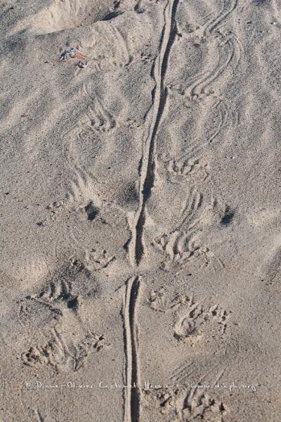 Traces d'Iguane Marins sur une plage des Galapgos