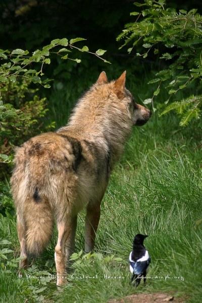 Le Loup gris et la pie