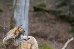 Loup gris (Canis lupus)