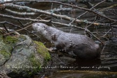 Loutre d'Europe (Lutra lutra)