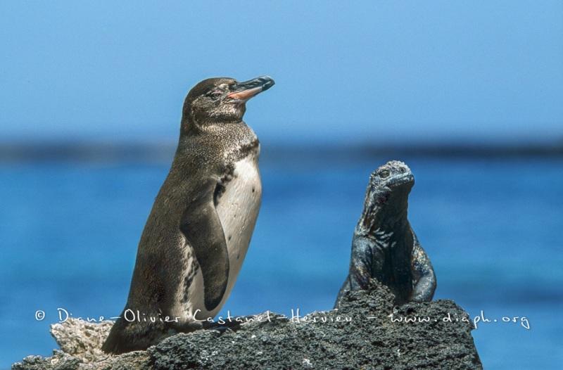 manchot des galapagos et Iguane marin