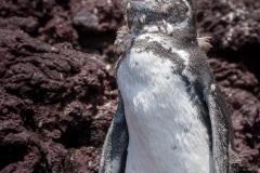 Manchot des Galapagos (Spheniscus mendiculus)