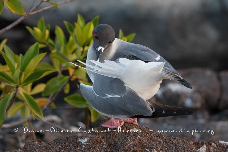 Mouette à  queue d'aronde (Larus furcatus) - île de Génovesa - Galapagos